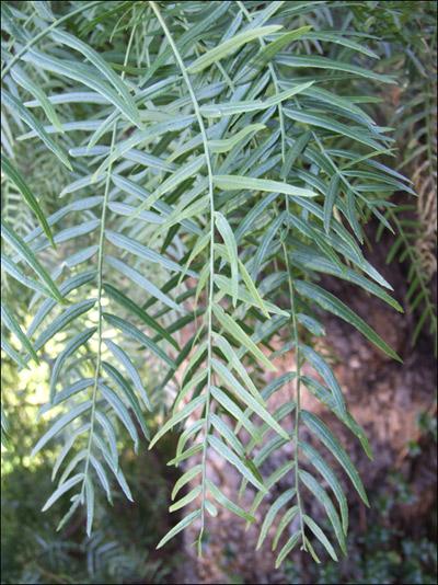 Index of photos forum arbres for Faux olivier arbre