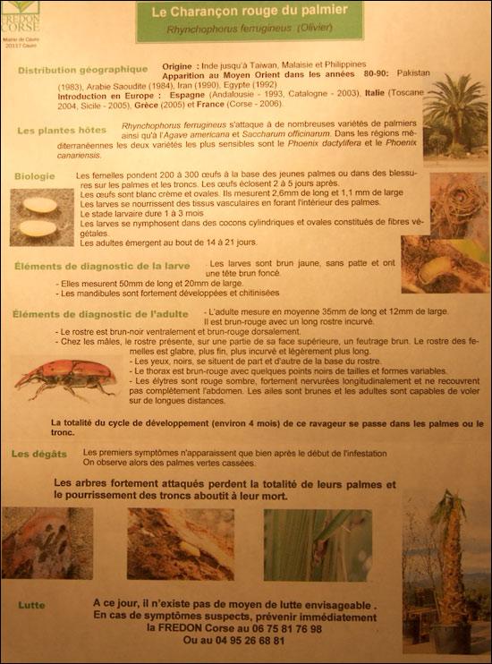 http://www.allo-olivier.com/Photos-Forum/Articles-Presse/Charancon_rouge_palmier.jpg