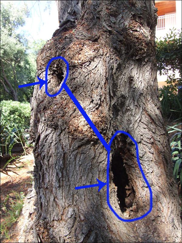 Le forum des arboristes grimpeurs des grimpeurs d 39 arbres des b cherons et des cordistes ou - Traitement olivier bouillie bordelaise ...