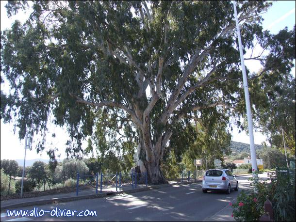 http://www.allo-olivier.com/Photos-Forum/Mes-Photos/Eucalyptus_Corse_01.jpg