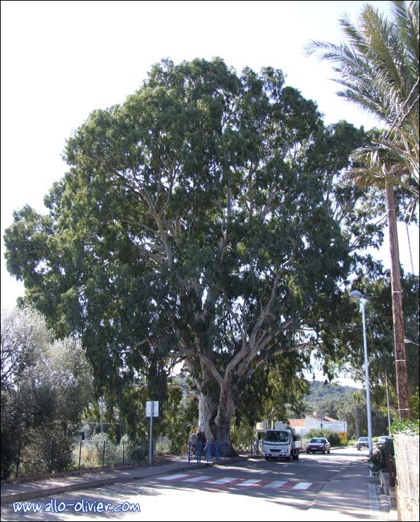 http://www.allo-olivier.com/Photos-Forum/Mes-Photos/Eucalyptus_Corse_02.jpg