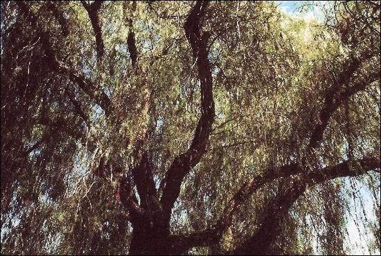 Le forum des arboristes grimpeurs des grimpeurs d 39 arbres for Faux olivier arbre