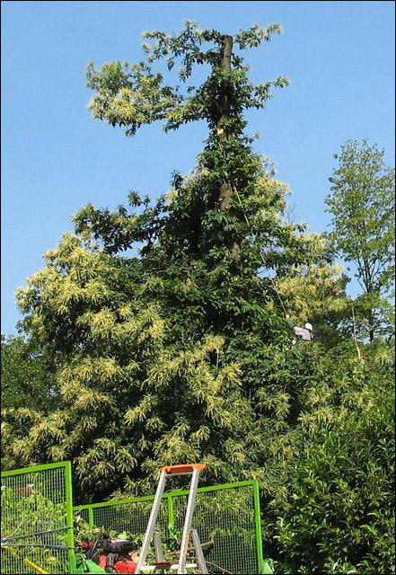 Le forum des arboristes grimpeurs des grimpeurs d 39 arbres des b cherons et des cordistes ou - Taille d un chataignier ...