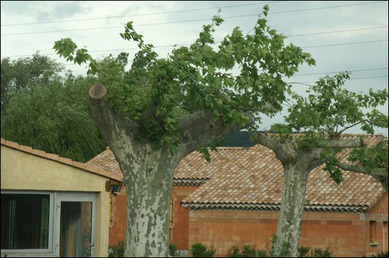 http://www.allo-olivier.com/Photos-Forum/Vos-Photos/marc07/Platane-02.jpg